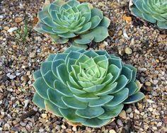 Caring Echeveria Plants In Your Garden