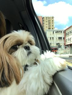 Nick enjoy window watching inside a car #maltese