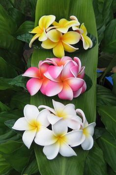 Triple plumeria  reminds me of Hawaii!!!