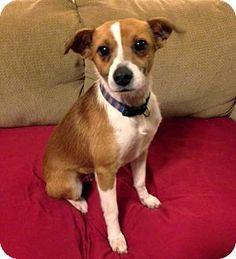 Franklin, TN - Jack Russell Terrier Mix. Meet MURPHY a Dog for Adoption.