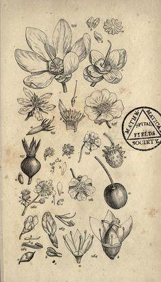 Botanical  n308_w1150, via Flickr.                                                                                                                                                     Más