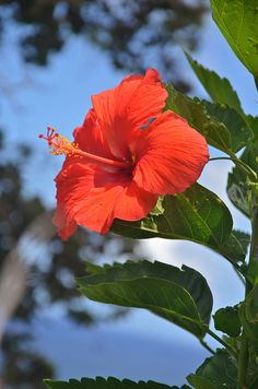 Hibiscus...... these are almost everywhere