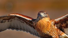 Ferruginous Hawk by Bill Gracey, via Flickr