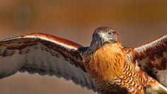 Ferruginous Hawk by Bill Gracey, via Flickr