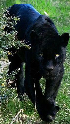 black leopard or jaguar Small Wild Cats, Big Cats, Cats And Kittens, Black Animals, Animals And Pets, Cute Animals, Puma Animal Black, Jaguar Noir, Beautiful Cats