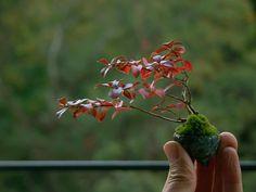サルスベリ紅葉1