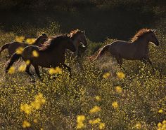 horsesornothing:  Mustangs in a yellow field by LisaMardell on Flickr.