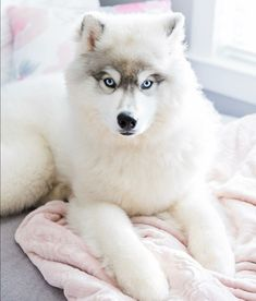 Wonderful All About The Siberian Husky Ideas. Prodigious All About The Siberian Husky Ideas. Cute Husky Puppies, Alaskan Malamute Puppies, Husky Puppy, Dogs And Puppies, Pomeranian Puppy, Cute Baby Animals, Animals And Pets, Funny Animals, Beautiful Dogs
