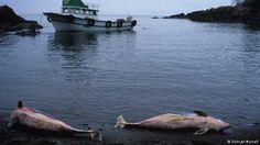 BOTOS CONTINUAM EM RISCO A WDC (Organização Internacional em Defesa das Baleias e Golfinhos) diz que os botos podem desaparecer. O Grupo de Proteção da Natureza (NABU), localizado na Alemanha, também trabalha para diminuir a exploração da vida animal. Segundo o grupo, a população dos botos no norte da Europa diminuiu 60% nos últimos anos.