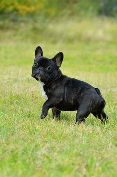 'Percie', the French Bulldog Poser.