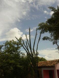 Mandacaru, árvore símbolo do sertão nordestino.
