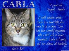 TO BE DESTROYED 3/30/15 *NYC* SWEET KITTY! * Brooklyn Center * Carla is friendly and has allowed all medical handling, but appreciates a slow approach. She is looking for a loving home with experienced cat owners! Help Carla find a home today! *   My name is CARLA. My Animal ID # is A1029827. I am a spayed female brn tabby and white dom sh mix. I am about 2 YEARS  I came in as a STRAY on 03/09/2015 from NY 11203,