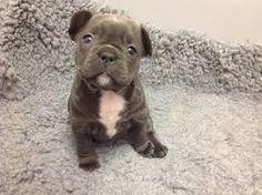 cutest french bulldog - Google Search