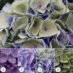 Magical hydrangeas are extremely strong indoor and garden hydrangeas that flower for 150 days and change colour three or four times per flowering season. Hydrangea Varieties, Hydrangea Garden, Hydrangea Colors, Hydrangea Macrophylla, Buy Plants, Trees And Shrubs, Plant Care, Colorful Flowers, House Plants