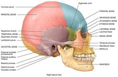 skull quiz suture - Google Search