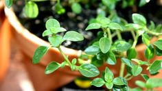 Soothe Colds + More With These Healing Herbs  http://www.rodalesorganiclife.com  THYME