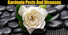 Gardenia pests and problems homeowners may experience and solutions. Some of them include bud drop, yellowing of leaves, sooty mold. Gardenia Care, Gardenia Bush, White Gardenia, Gardenias, Plant Bugs, Plant Pests, Garden Bugs, Garden Pests, Organic Gardening