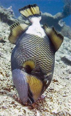 Bali  titan triggerfish