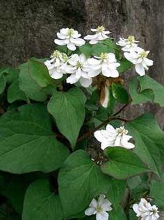 Houttuynia cordata Tsi - growing profusely in the garden (invasive ground cover) Edible and Medicinal uses