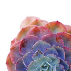 Such stunning colors in this Echeveria! Photos by Dalla Vita (Dalla Vita)