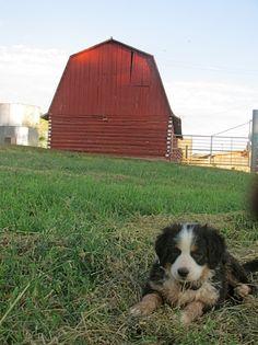 """""""America's Farm Dog"""""""