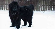 Newfoundland Caswell tore her cranial cruciate ligament at just a year old. Embrace Pet Insurance helped cover the cost of surgery. Embrace Pet Insurance, Newfoundland Puppies, Cruciate Ligament, Customer Stories, Pet Care, Surgery, Dog, Pets, Animals