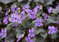 In our last week of Autumn, this plant is another seasonal favourite, Viola labradorica, Labrador Violet. Shade Garden, Garden Plants, Johnny Jump Up, American Dog, Farm Nursery, London Garden, Annual Flowers, Back Gardens, Native Plants