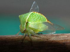 Picture of the Buffalo Treehopper