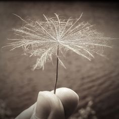 Löwenzahn, dandelion Dandelion, Make It Yourself, Flowers, Plants, How To Make, Pictures, Dandelions, Plant, Taraxacum Officinale