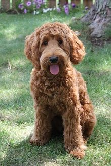 Image Result For Full Grown Miniature Goldendoodle Red