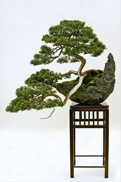 ~~A Chinese Juniper Bonsai (Juniperus chinensis) trained in the Han-kengai or semi-cascade style by Grufnik~~