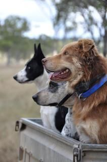 Faithful sheep dogs waiting for their command. Great Pictures, Dog Pictures, Australia Living, South Australia, Country Life, Country Living, Farm Photography, Horse Stables, Great Life