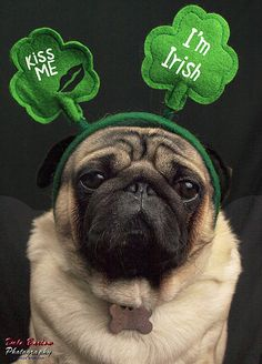 Kiss me, I'm Irish pug! 🍀 - I better get treats for this dog via 25 Ridiculously Cute St. Cute Pugs, Cute Puppies, Dogs And Puppies, Adorable Dogs, St Patricks Day Meme, Funny Animals, Cute Animals, Pug Pictures, Pug Pics