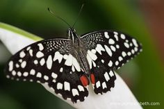 A Chequered Swallowtail butterfly, also known by its scientific name of Papilio demoleus, pictured resting on an Anthurium flower, inside the Butterfly Dome, at the RHS Hampton Court Palace Flower Show Hampton Court Flower Show, Rhs Hampton Court, Shows 2017, Annual Flowers, Chelsea Flower Show, Moth, Palace, Butterflies, Summertime