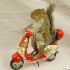 """Squirrel: """"I'm off to Italy for my Holidays: I've been told that a lot of The Italians ride around on scooters; so I'm just taking a few lessons on how to handle one!"""""""