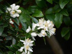 Blühende Chinotto