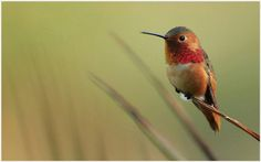 The Hummingbird Wallpaper | the hummingbird wallpaper 1080p, the hummingbird wallpaper desktop, the hummingbird wallpaper hd, the hummingbird wallpaper iphone