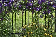 clematis on fence Rod Iron Fences, Wrought Iron Fences, Blue Clematis, Clematis Vine, Lavender Garden, Purple Garden, Emerald Green Arborvitae, Flowers Perennials, Garden Gates