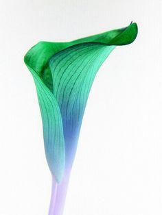 calla lily - love the color Pictures Of Calla Lilies, Flower Pictures, Calla Lillies, Calla Lily, My Flower, Flower Power, Types Of Flowers, Flower Tattoos, I Tattoo