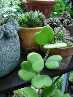 Wax Hearts, Sweetheart Hoya, Valentine Hoya, Wax Plant, Porcelain Flower (Hoya kerrii). USDA Zone 11 or indoors.