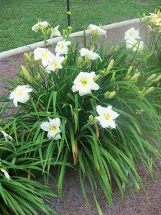 Hemerocallis 'Joan Senior' - Jenlee sent 4 fans & I planted them March 2017 off patio between Crepe Myrtle & Vitex. (tbb)