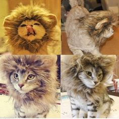 Dress your kitty cat up as a lion!! Yay!