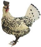 Appenzeller Spitzhauben • Uses: Utility: eggs • Origin: Switzerland (Appenzel Canton) • Weight: Cock: 1.6 - 2Kg, Hen: 1.35 - 1.6Kg • Colours: Black, Silver Spangled, Gold Spangled standardised UK • Barred, Black-Mottled, Blue, & Chamois Spangled • Very active breed • Best suited for free range • Superb forager • Breed known as flighty, but overcome w/gentle handling. Photo: Silver Spangled Appenzeller Spitzhauben owned and photographed by Benjamin Shepherd • Soft Feather