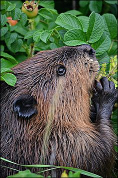 Don't Legalize Beaver Trapping For Furs!  The Michigan Trappers and Predator Callers Association pushed for legislation that would allow fur dealers to trap beavers, a practice that has been outlawed since the 1900s or earlier. Please sign & share the petition to stand against this BRUTALLY ARCHAIC legislation!