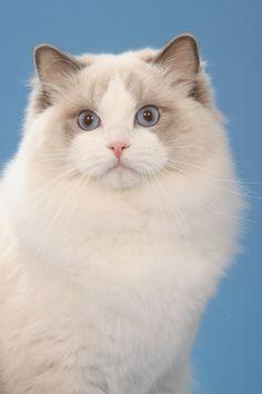 This is Rockcreek Gucci - gorgeous Ragdoll kitties