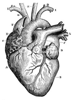 Antique medical scientific illustration high-resolution: heart ...