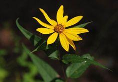Kansas Wildflowers and Grasses - Hairy sunflower. Shade/part shade