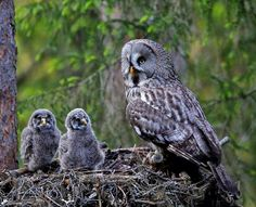 Mama and owlets ...