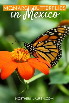 Monarch butterflies in Mexico, Michoacan Mexico, wildlife in Mexico, mariposas monarcas, day trips from Mexico City, things to do in Mexico, Visit Michoacan
