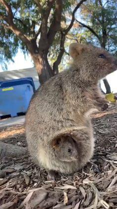 Quokka Mom and Mini Quokka - Tiere - Chien Funny Koala, Cute Funny Animals, Cute Baby Animals, Koala Meme, Mother And Baby Animals, Cute Animal Videos, Funny Animal Pictures, Nature Animals, Animals And Pets